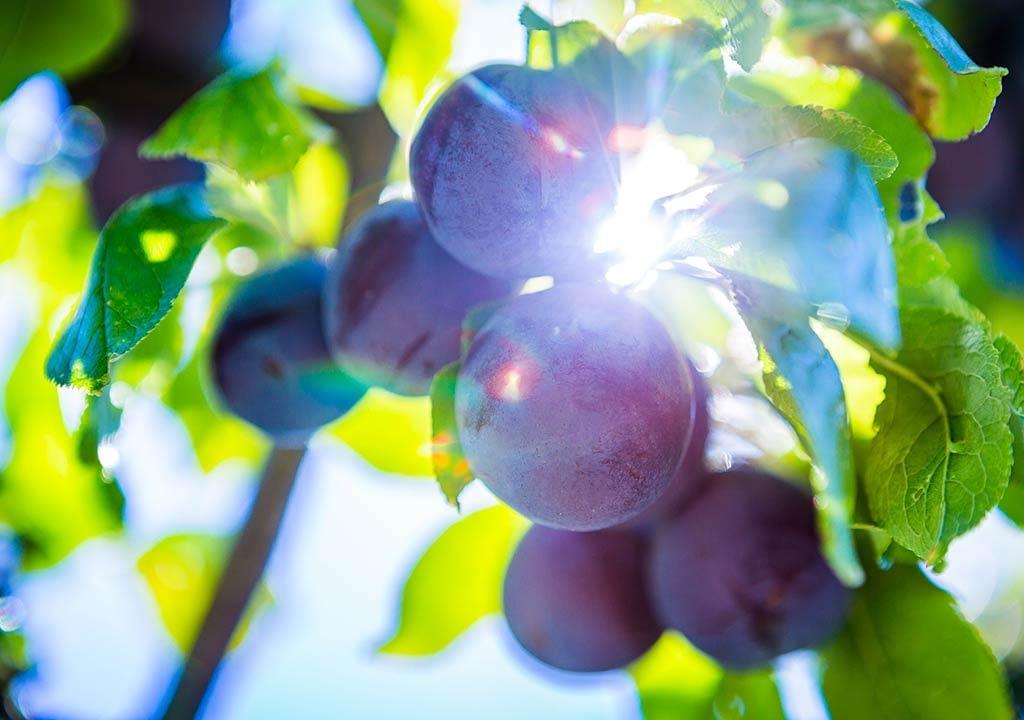 Prunes from Skopelos